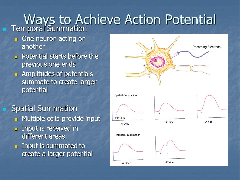 Ways to Achieve Action Potential Temporal Summation Temporal Summation One neuron acting on another One neuron acting on another Potential starts before the previous one ends Potential starts before the previous one ends Amplitudes of potentials summate to create larger potential Amplitudes of potentials summate to create larger potential Spatial Summation Spatial Summation Multiple cells provide input Input is received in different areas Input is summated to create a larger potential