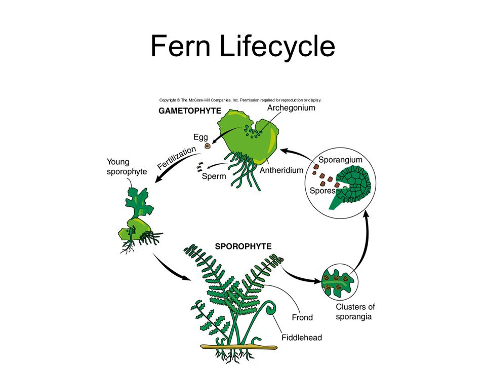 Fern Lifecycle