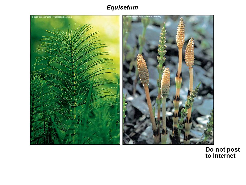 Equisetum Do not post to Internet