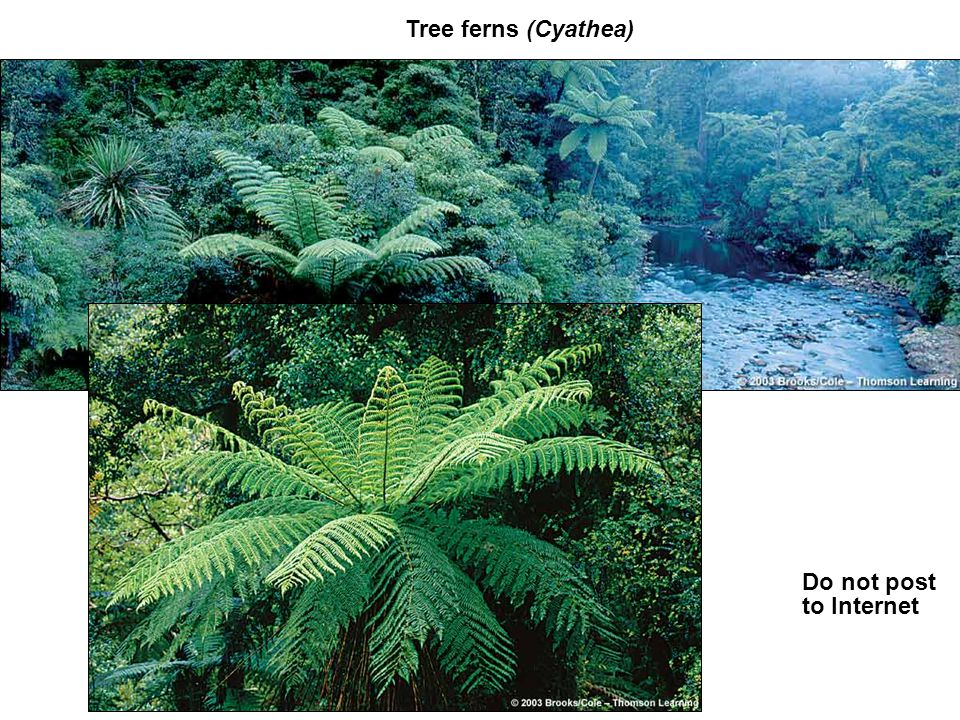 Tree ferns (Cyathea) Do not post to Internet