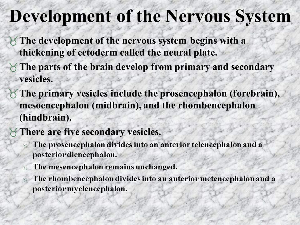 Development of the Nervous System  The development of the nervous system begins with a thickening of ectoderm called the neural plate.