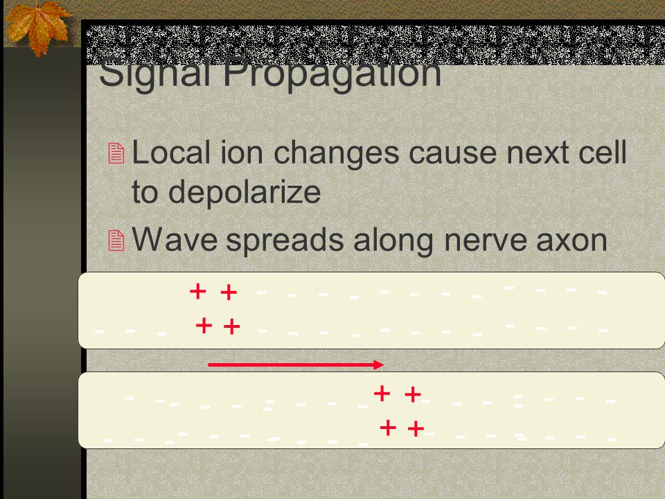 Signal Propagation 2 Local ion changes cause next cell to depolarize 2 Wave spreads along nerve axon