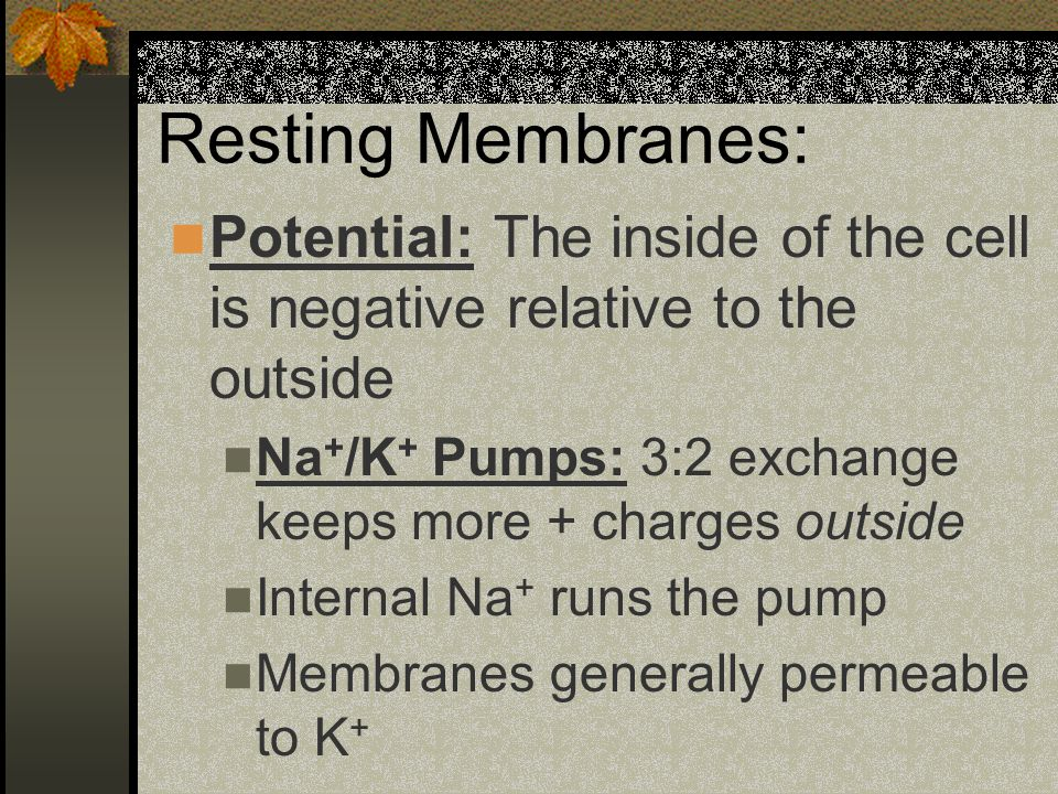 Resting Membranes: Potential: The inside of the cell is negative relative to the outside Na + /K + Pumps: 3:2 exchange keeps more + charges outside Internal Na + runs the pump Membranes generally permeable to K +