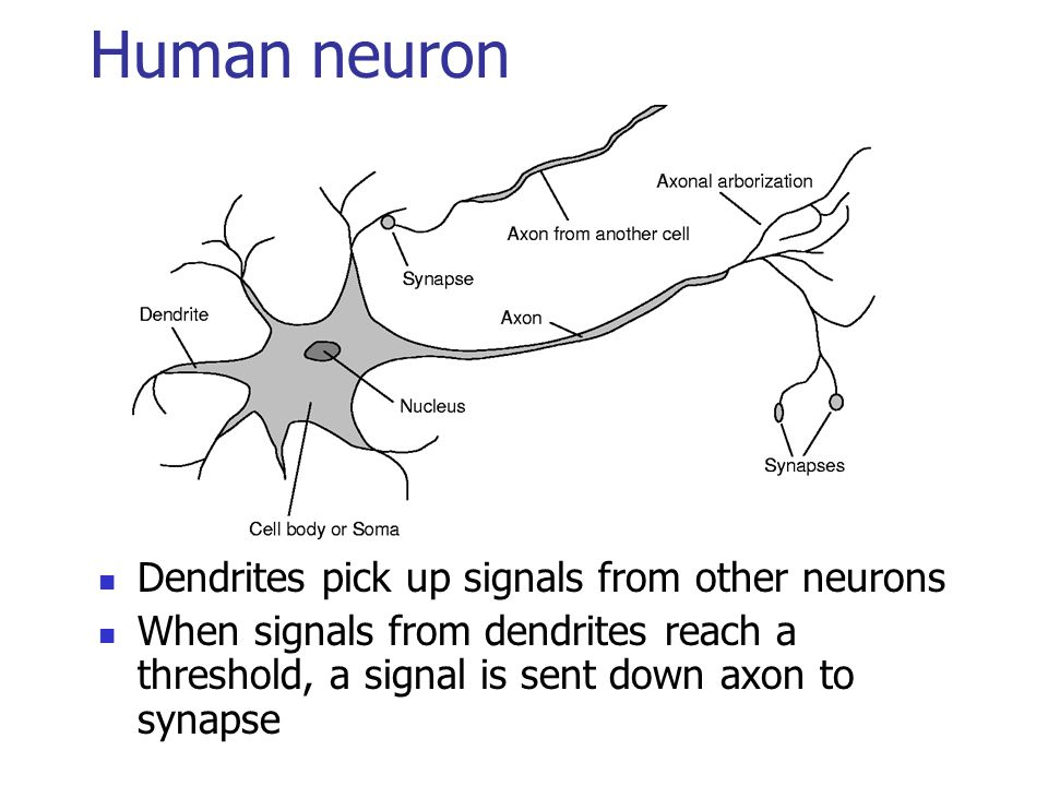 Human neuron Dendrites pick up signals from other neurons When signals from dendrites reach a threshold, a signal is sent down axon to synapse