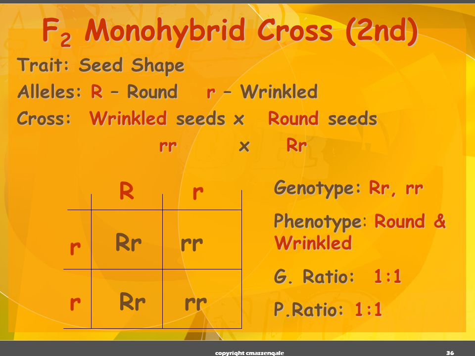 35 Trait: Seed Shape Alleles: R – Roundr – Wrinkled Cross: Round seeds x Round seeds RR x Rr F 2 Monohybrid Cross (1 st ) R R rR RR RrRR Rr Genotype:RR, Rr Genotype: RR, Rr PhenotypeRound Phenotype: Round Genotypic Ratio:1:1 Genotypic Ratio: 1:1 Phenotypic Ratio: All alike copyright cmassengale