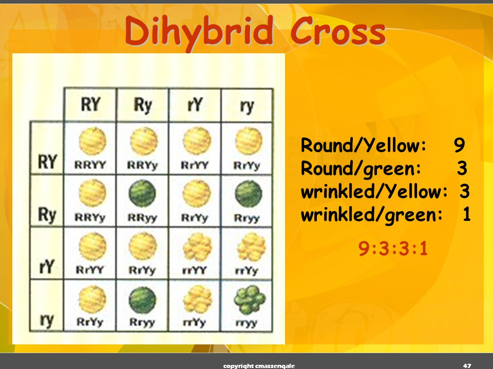 46 Dihybrid Cross RRYY RRYy RrYY RrYy RRYy RRyy RrYy Rryy RrYY RrYy rrYY rrYy RrYy Rryy rrYy rryy Round/Yellow: 9 Round/green: 3 wrinkled/Yellow: 3 wrinkled/green: 1 9:3:3:1 phenotypic ratio RYRyrYryRY Ry rY ry copyright cmassengale