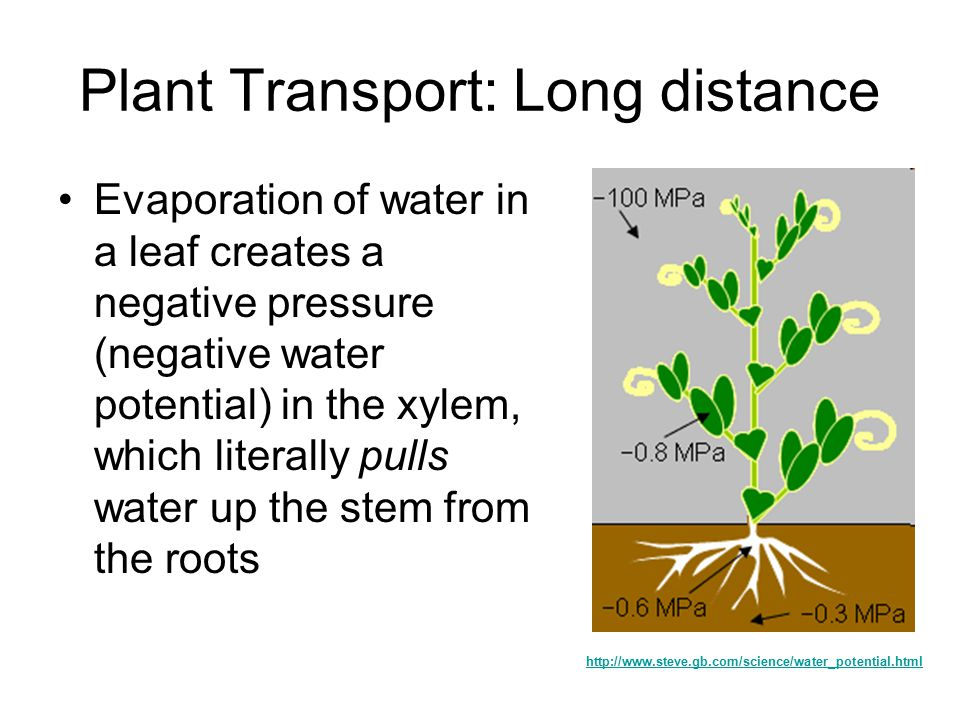 Plant Transport How does water get from the roots of a tree to its ...