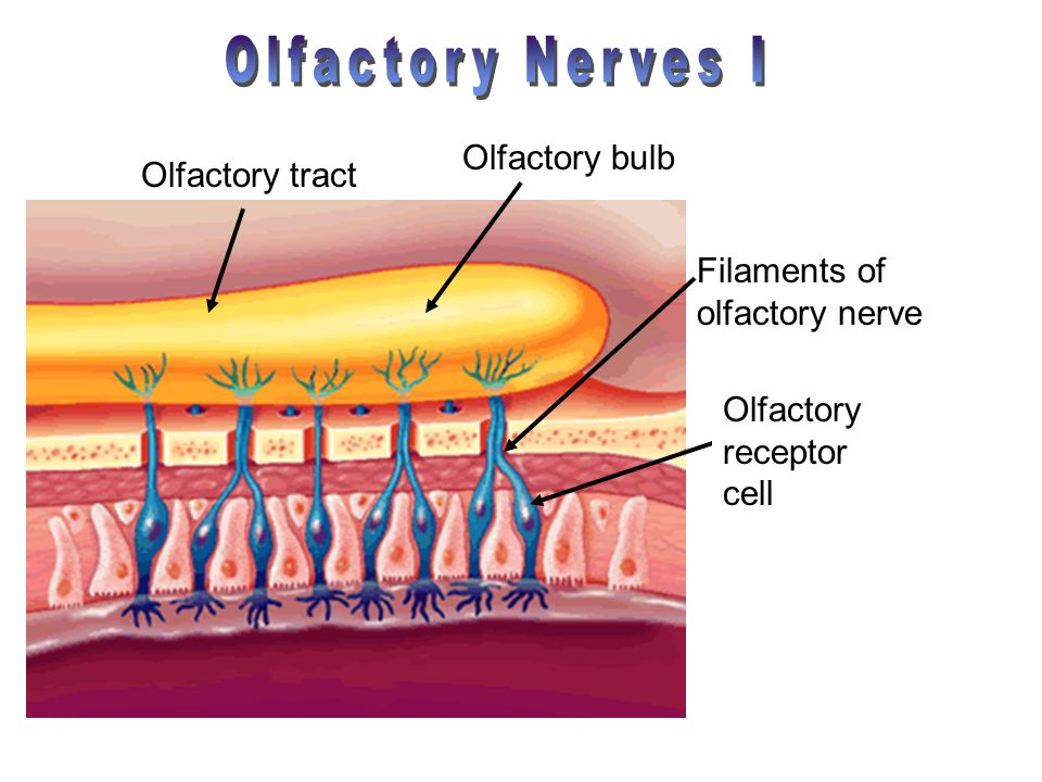 Olfactory bulb Olfactory tract Olfactory receptor cell Filaments of olfactory nerve