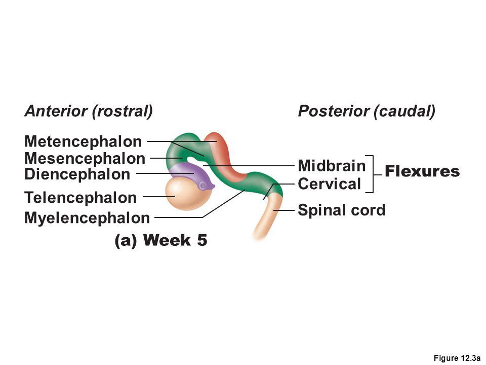 Figure 12.3a Metencephalon Anterior (rostral)Posterior (caudal) Mesencephalon Diencephalon Midbrain Cervical Spinal cord Flexures Telencephalon Myelen
