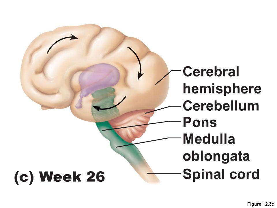 Figure 12.3c Cerebellum Pons Medulla oblongata Spinal cord Cerebral hemisphere (c) Week 26