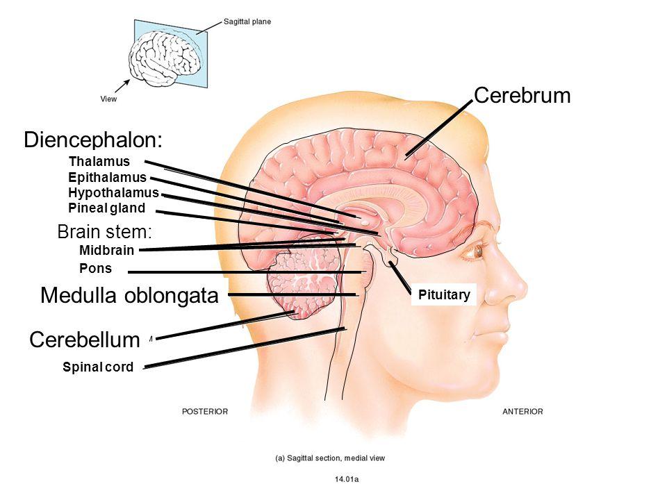 Medulla oblongata Cerebellum Diencephalon: Cerebrum Brain stem: Thalamus Epithalamus Hypothalamus Pineal gland Midbrain Pons Spinal cord Pituitary