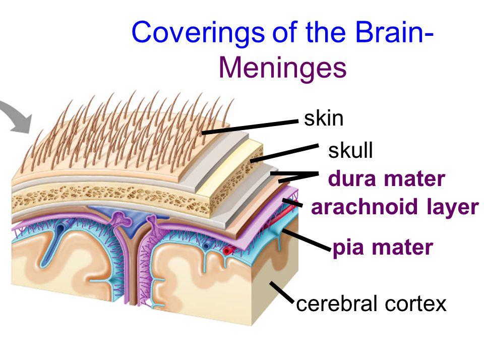 Coverings of the Brain- Meninges skin skull dura mater arachnoid layer pia mater cerebral cortex