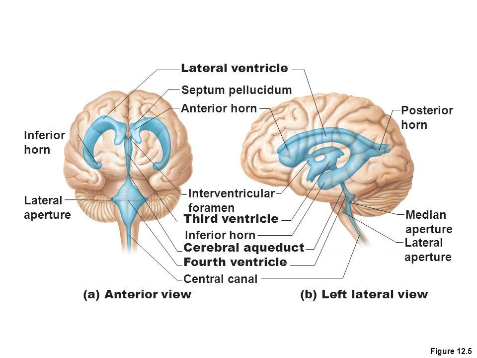 Figure 12.5 Anterior horn Interventricular foramen Inferior horn Lateral aperture (b) Left lateral view Lateral ventricle Septum pellucidum Third vent