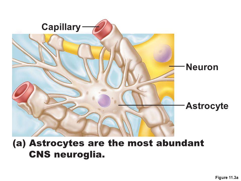 Figure 11.3a (a) Astrocytes are the most abundant CNS neuroglia. Capillary Neuron Astrocyte