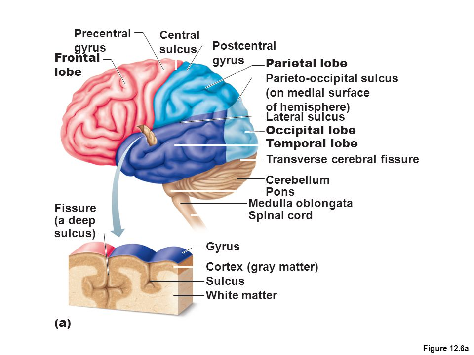 Figure 12.6a Postcentral gyrus Central sulcus Precentral gyrus Frontal lobe (a) Parietal lobe Parieto-occipital sulcus (on medial surface of hemispher