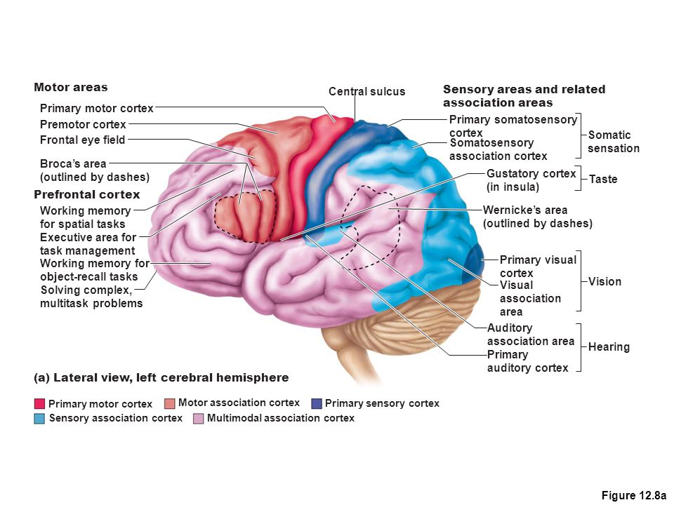 Figure 12.8a Gustatory cortex (in insula) Primary motor cortex Premotor cortex Frontal eye field Working memory for spatial tasks Executive area for t