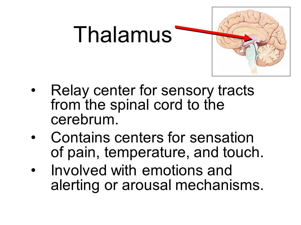 Thalamus Relay center for sensory tracts from the spinal cord to the cerebrum. Contains centers for sensation of pain, temperature, and touch. Involve
