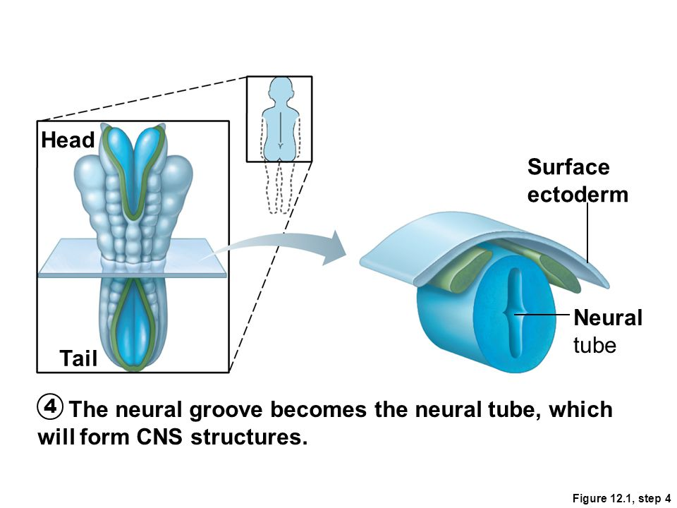 Figure 12.1, step 4 The neural groove becomes the neural tube, which will form CNS structures. 4 Surface ectoderm Head Tail Neural tube