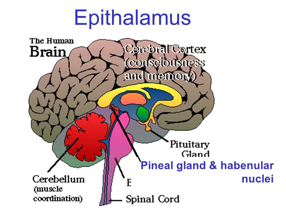 Epithalamus Pineal gland & habenular nuclei