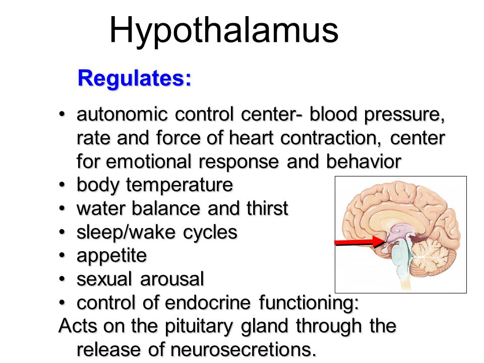 Hypothalamus autonomic control center- blood pressure, rate and force of heart contraction, center for emotional response and behaviorautonomic contro