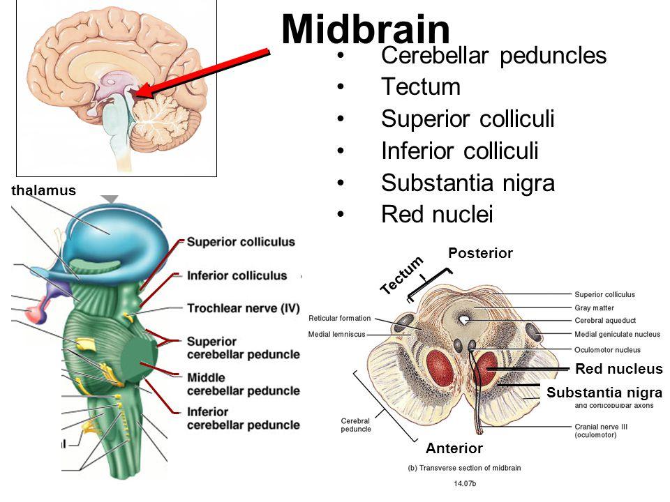 Cerebellar peduncles Tectum Superior colliculi Inferior colliculi Substantia nigra Red nuclei Midbrain thalamus Red nucleus Substantia nigra Tectum Po