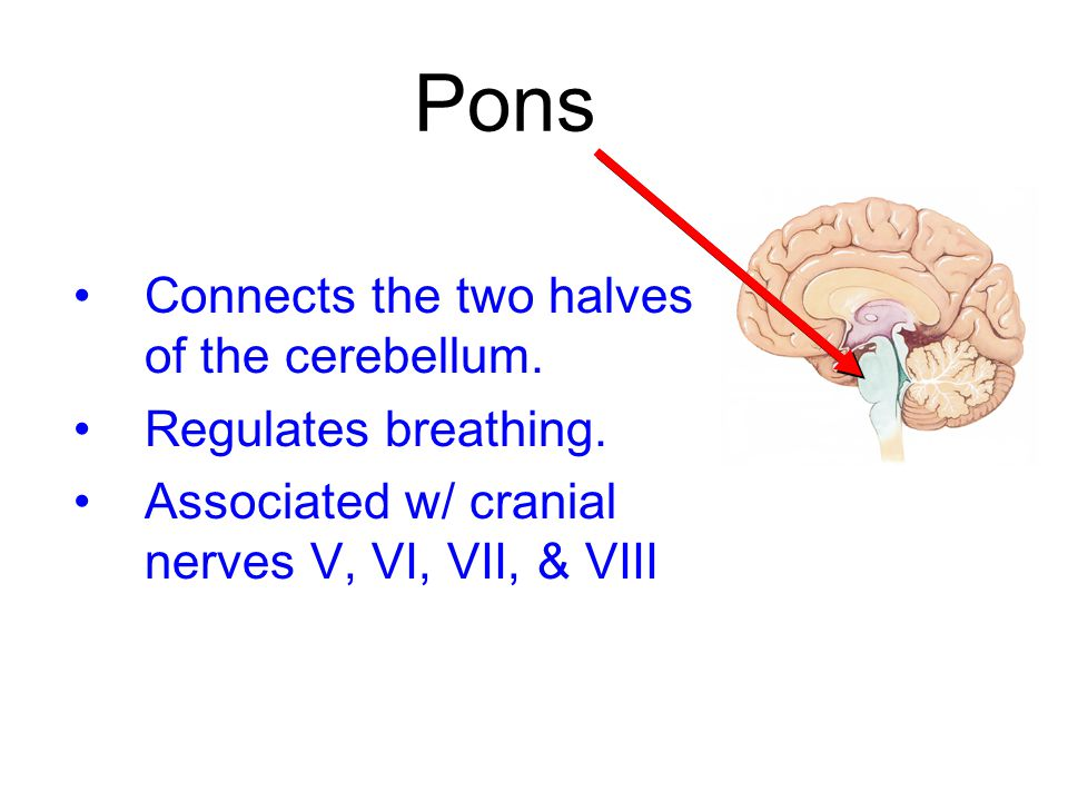 Pons Connects the two halves of the cerebellum. Regulates breathing. Associated w/ cranial nerves V, VI, VII, & VIII