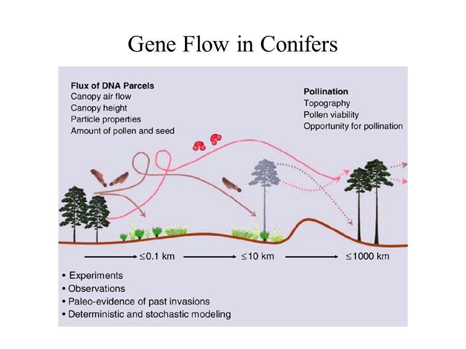 Gene Flow in Conifers