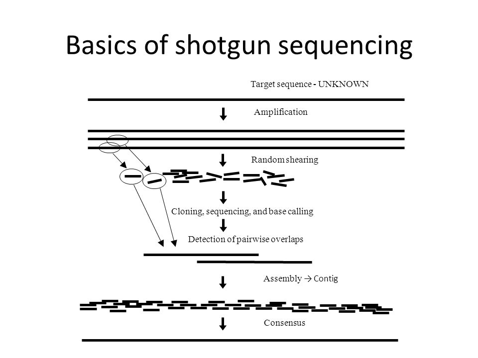 Basics of shotgun sequencing Amplification Detection of pairwise overlaps Assembly → Contig Consensus Random shearing Cloning, sequencing, and base calling Target sequence - UNKNOWN