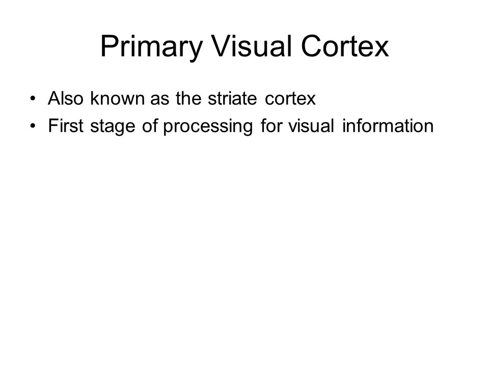 Primary Visual Cortex Also known as the striate cortex First stage of processing for visual information