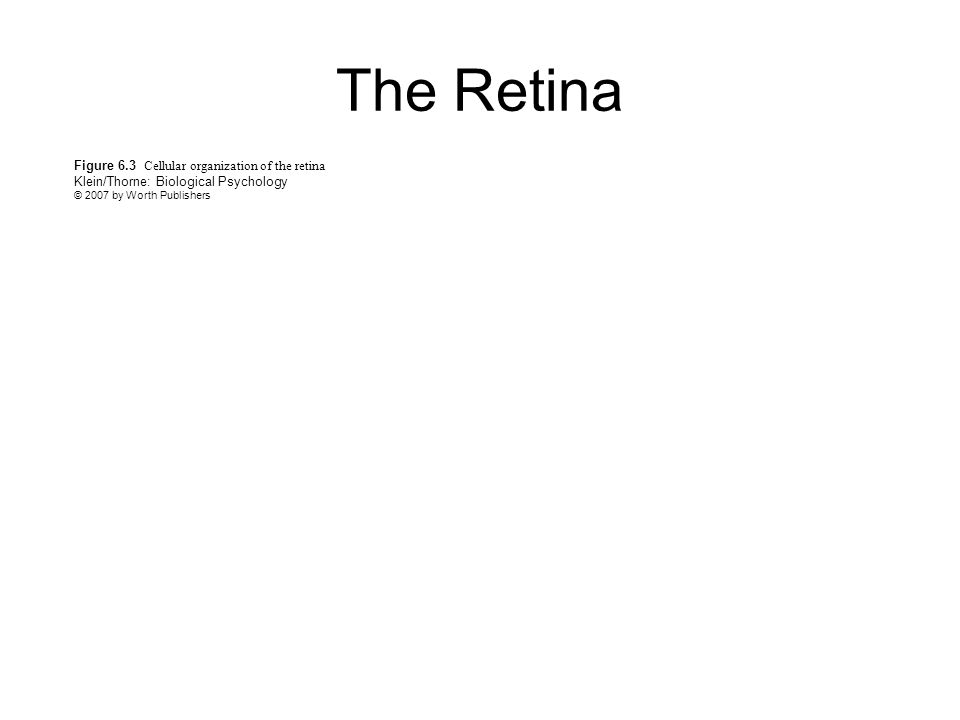 Figure 6.3 Cellular organization of the retina Klein/Thorne: Biological Psychology © 2007 by Worth Publishers The Retina