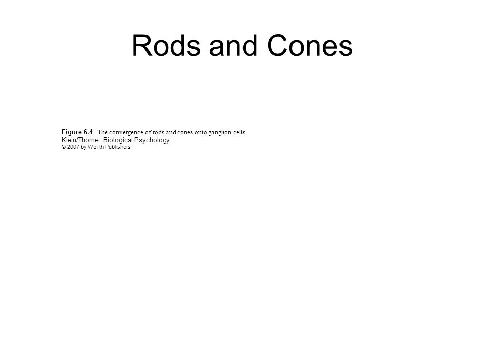 Figure 6.4 The convergence of rods and cones onto ganglion cells Klein/Thorne: Biological Psychology © 2007 by Worth Publishers Rods and Cones