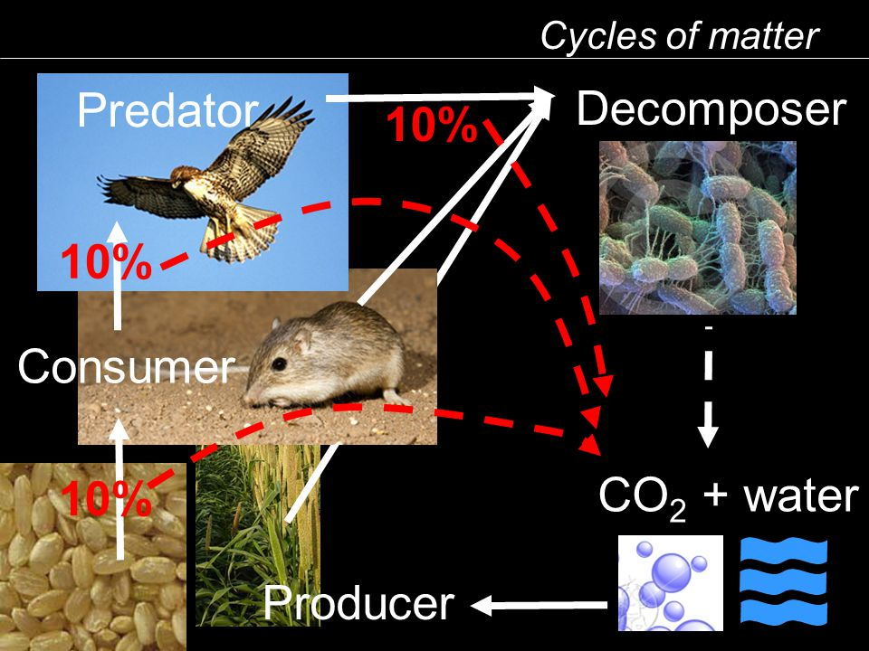 Cycles of matter Predator Consumer Producer CO 2 + water Decomposer 10%