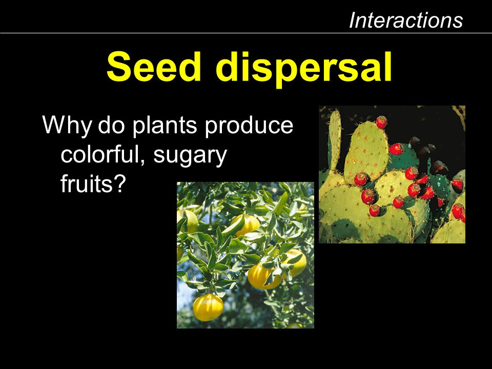 Interactions Seed dispersal Why do plants produce colorful, sugary fruits