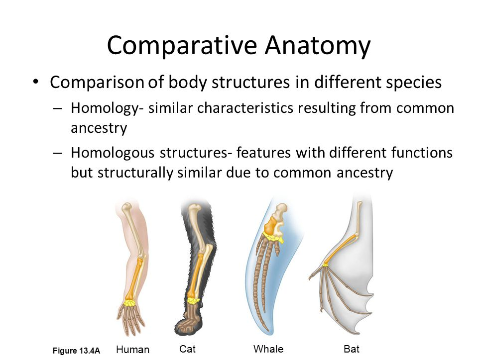 Comparative Anatomy Comparison of body structures in different species – Homology- similar characteristics resulting from common ancestry – Homologous structures- features with different functions but structurally similar due to common ancestry Human CatWhale Bat Figure 13.4A