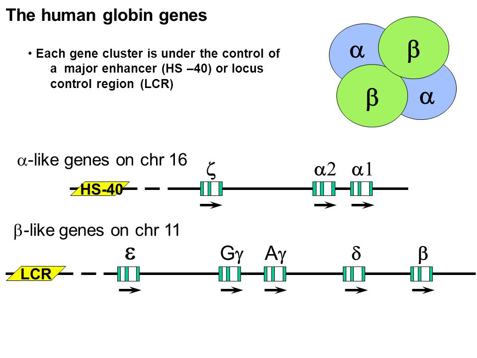 The human globin genes Each gene cluster is under the control of a major enhancer (HS –40) or locus control region (LCR)      -like genes on chr 16  -like genes on chr 11   GG AA LCR HS-40