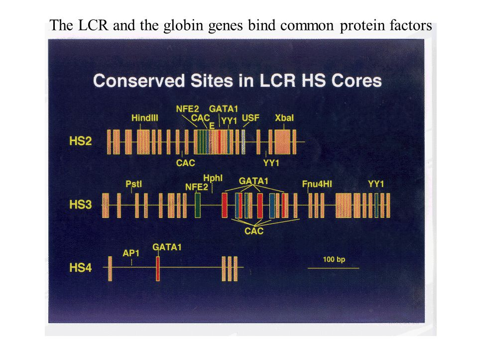 The LCR and the globin genes bind common protein factors