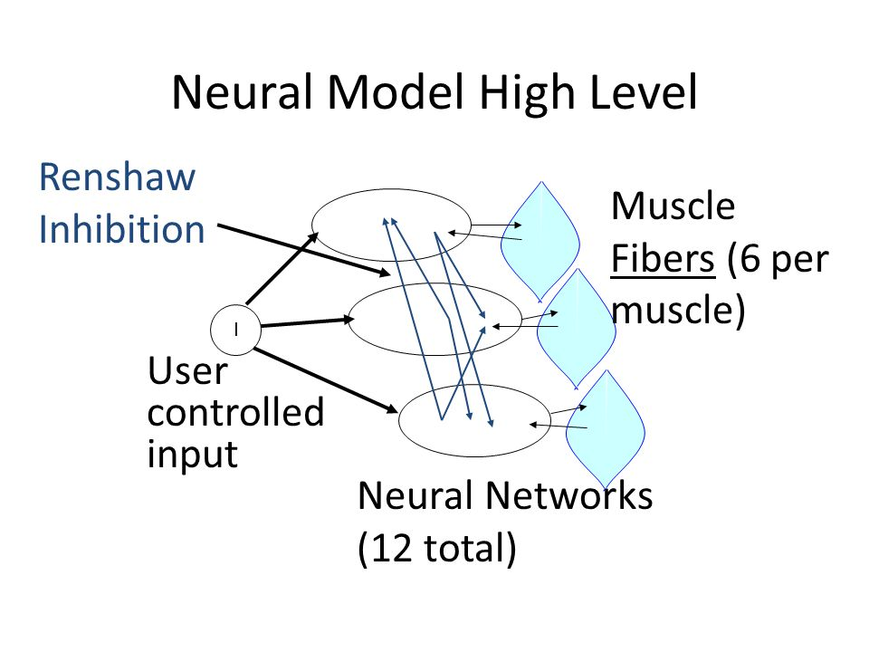 Neural Model High Level Neural Networks (12 total) I User controlled input Renshaw Inhibition Muscle Fibers (6 per muscle)