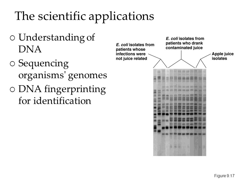 The scientific applications  Understanding of DNA  Sequencing organisms genomes  DNA fingerprinting for identification Figure 9.17