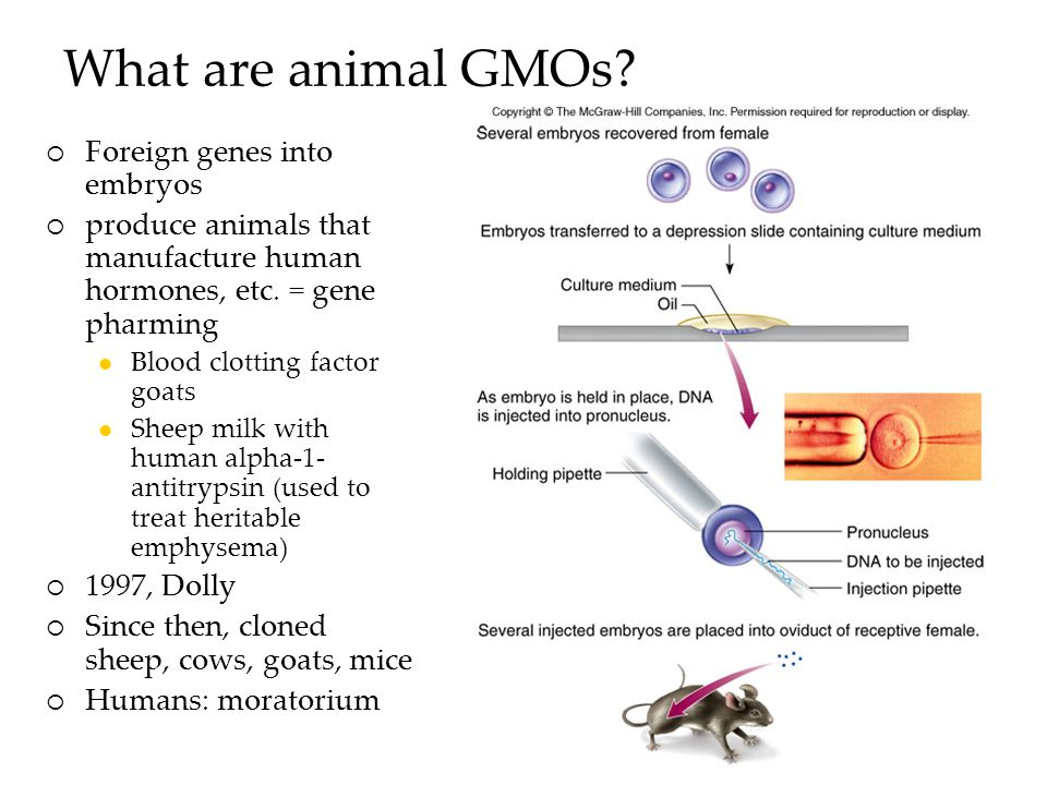 What are animal GMOs.