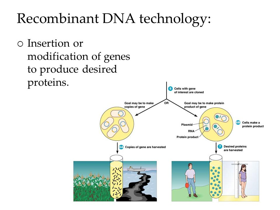 Recombinant DNA technology:  Insertion or modification of genes to produce desired proteins.