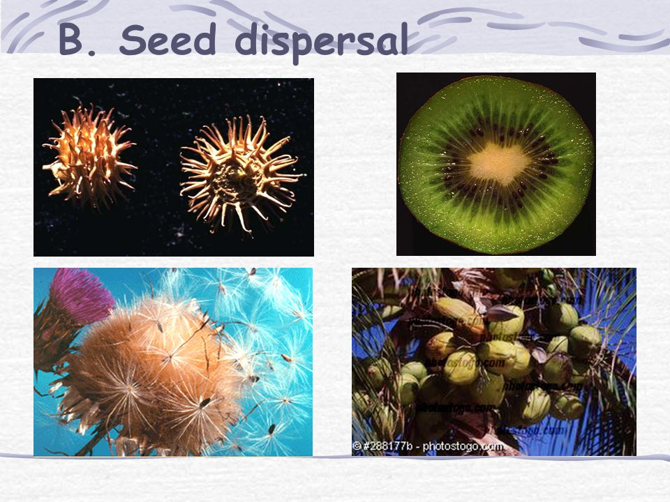III. Seeds and fruits A. Anatomy of a seed Monocots versus dicots micropyle hilum