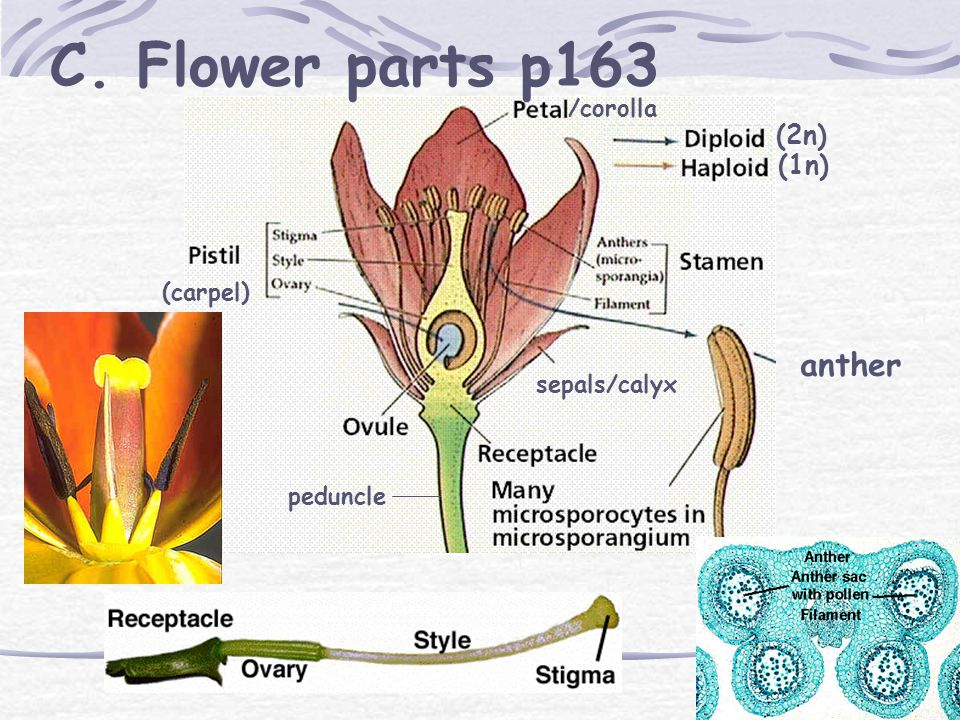 I. Flowers A. Pollen grains and ovules B.