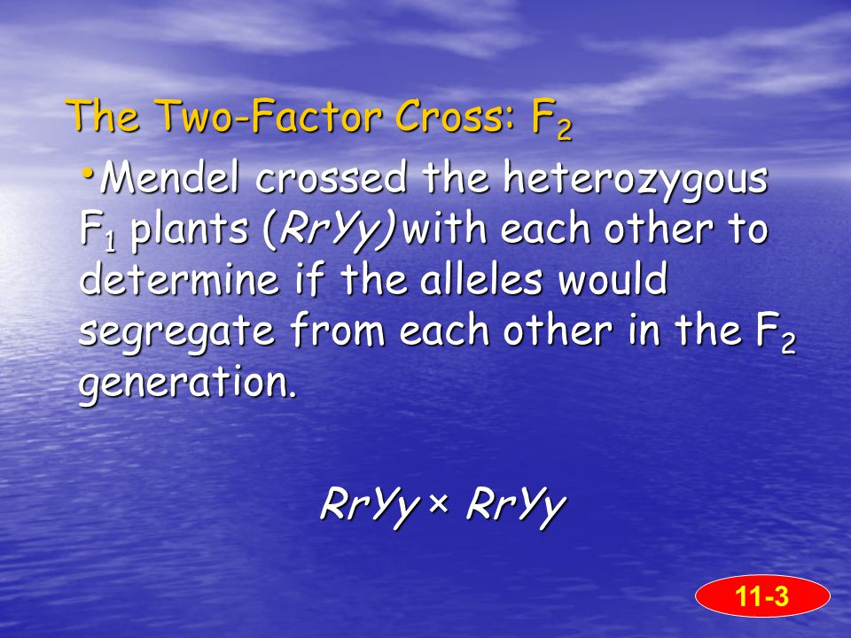 The Two-Factor Cross: F 2 The Two-Factor Cross: F 2 Mendel crossed the heterozygous F 1 plants (RrYy) with each other to determine if the alleles would segregate from each other in the F 2 generation.