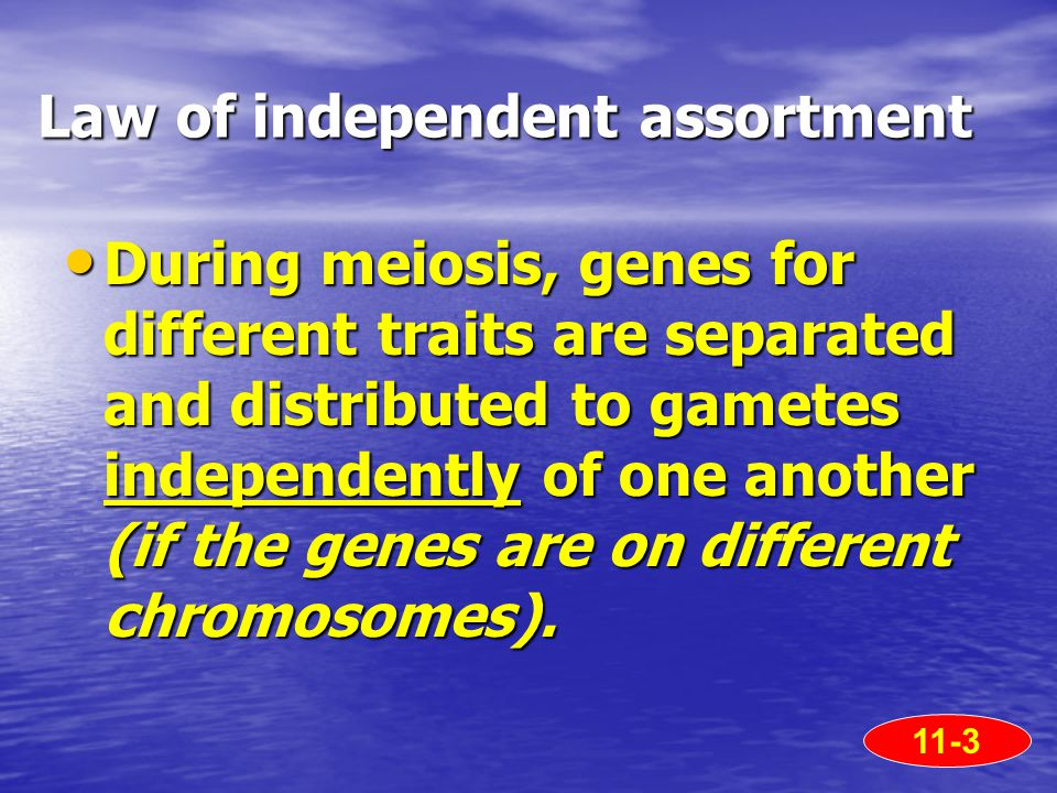 Law of independent assortment During meiosis, genes for different traits are separated and distributed to gametes independently of one another (if the genes are on different chromosomes).