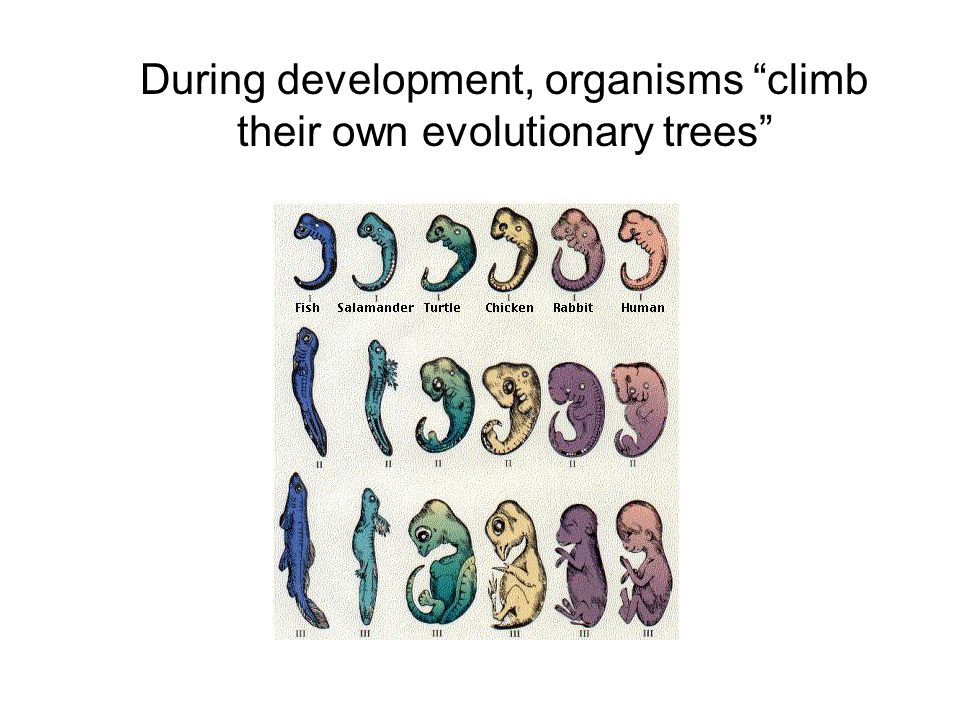 During development, organisms climb their own evolutionary trees