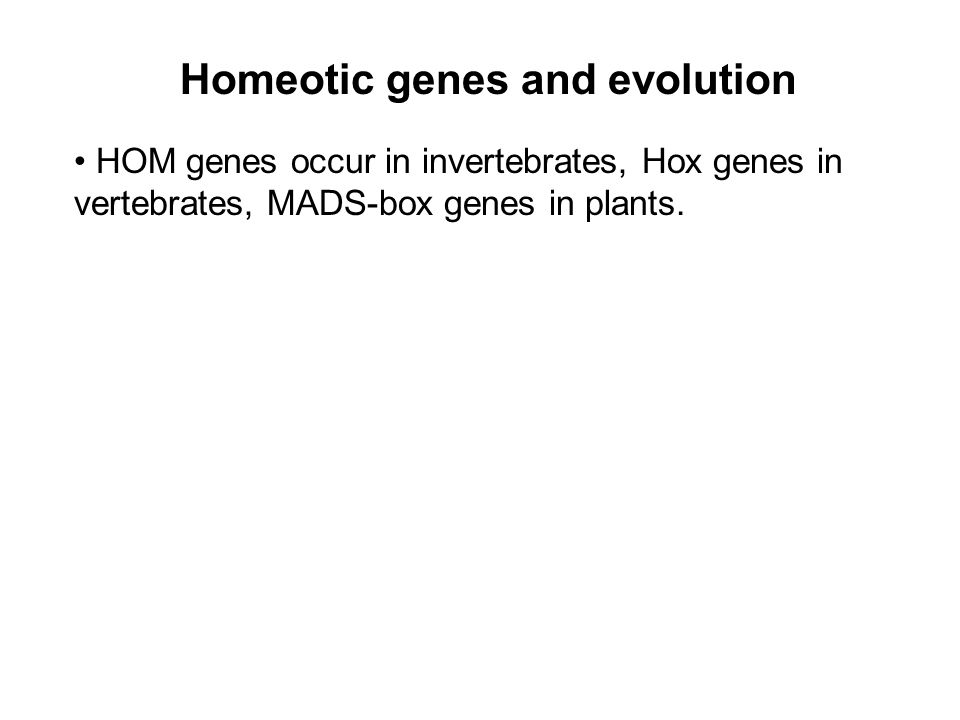 Homeotic genes and evolution HOM genes occur in invertebrates, Hox genes in vertebrates, MADS-box genes in plants.
