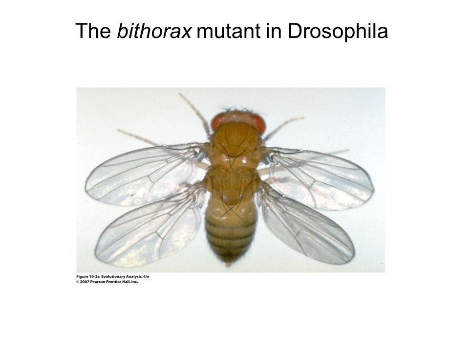The bithorax mutant in Drosophila