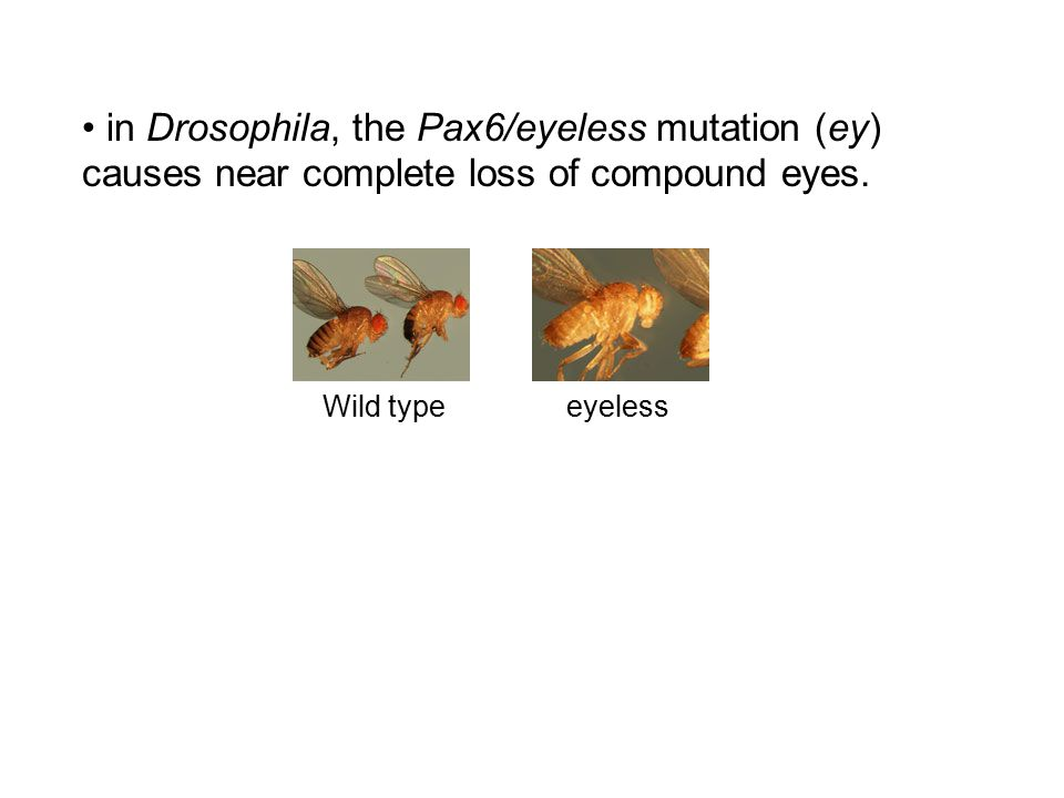 in Drosophila, the Pax6/eyeless mutation (ey) causes near complete loss of compound eyes.