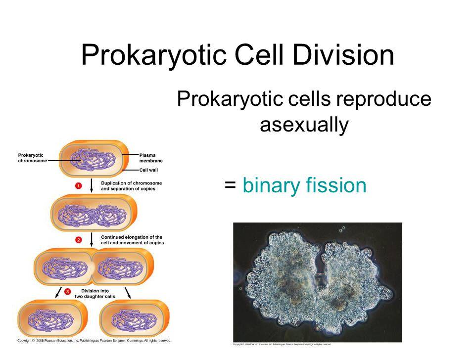 Prokaryotic cells reproduce asexually = binary fission Prokaryotic Cell Division