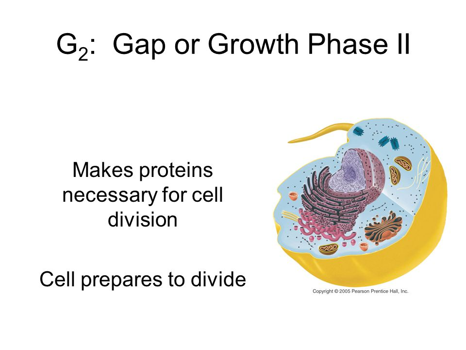 G 2 : Gap or Growth Phase II Makes proteins necessary for cell division Cell prepares to divide